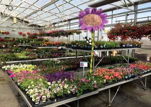 Colorful Flowers in Ted Lare Greenhouse Garden Center