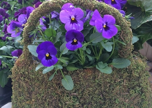 Bright Blue Pansies and Orange and Fuschia flowers