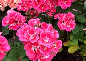 Bright Pink Cluster Flowers