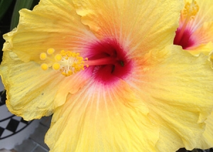 Yellow Flower with Pink Middle