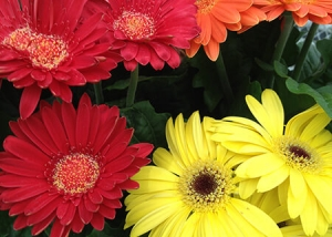 Red, Yellow, Orange and Pink Daisies
