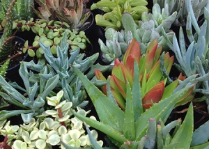 Aloe Vera and other Succulents