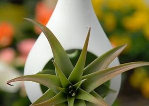 Hanging Succulent Plant