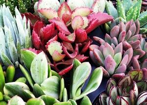 Varieties of Succulents Ted Lare Garden Center