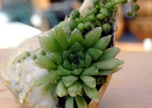 Succulent Plant in Conch Shell Planter