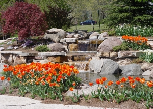 Orange Tulip Bulbs Surrounding Boulder & Waterfall