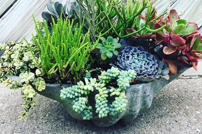 succulents in seashell planter