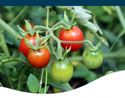 Ted Lare Blog Feature Tomato Plant