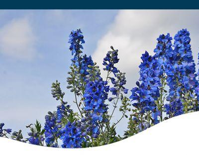 blue delphinium flowers