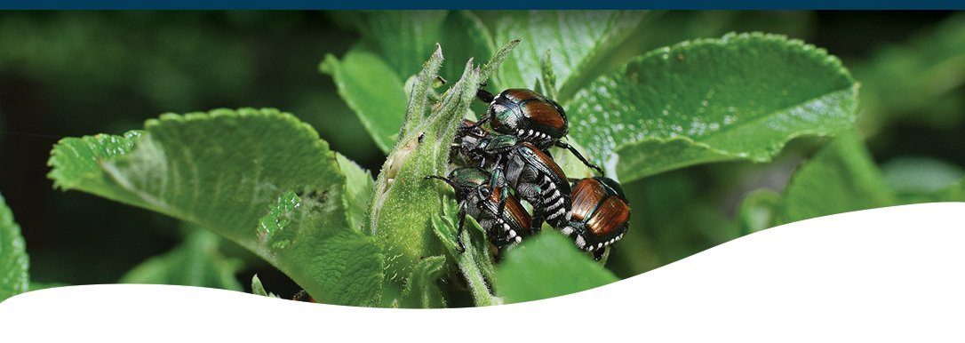 Fighting Japanese Beetles Ted Lare Design Build