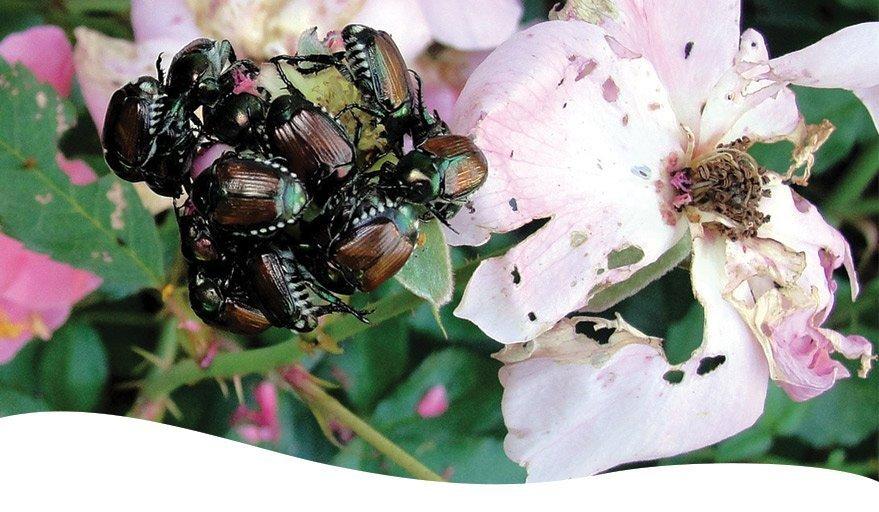 cluster of japanese beetles on damaged roses