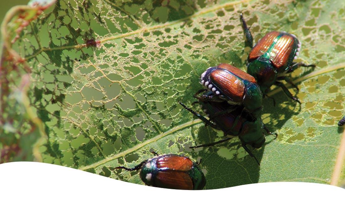 Japanese beetles eating leaves