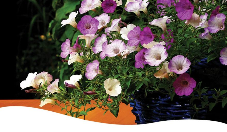 purple and white petunias in a pot