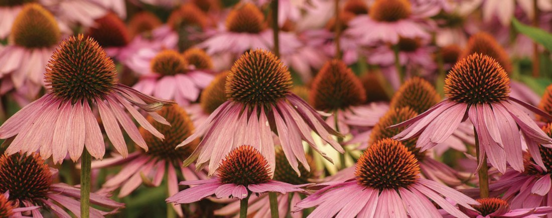 light pink coneflowers