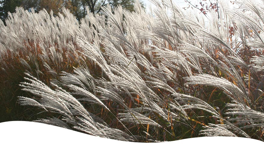 A bunch of tall white ornamental grasses