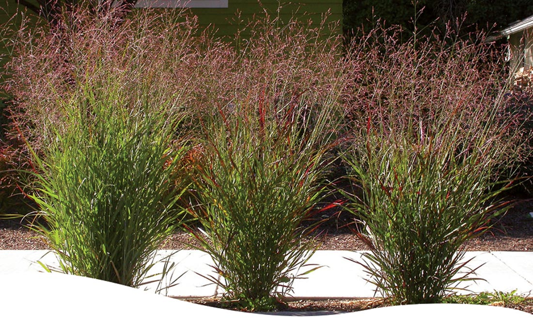 3 Switchgrass ornamental grasses on a front lawn