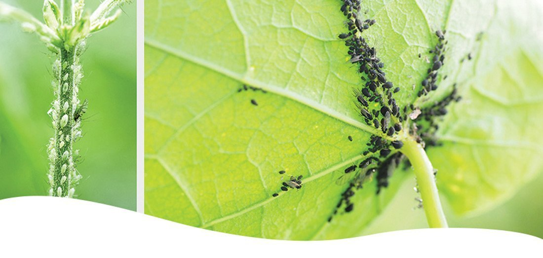 aphids on a branch and under a leaf