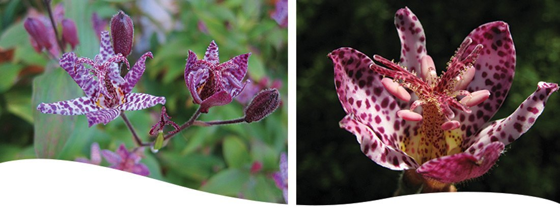 Iowa fall perennial toad lily