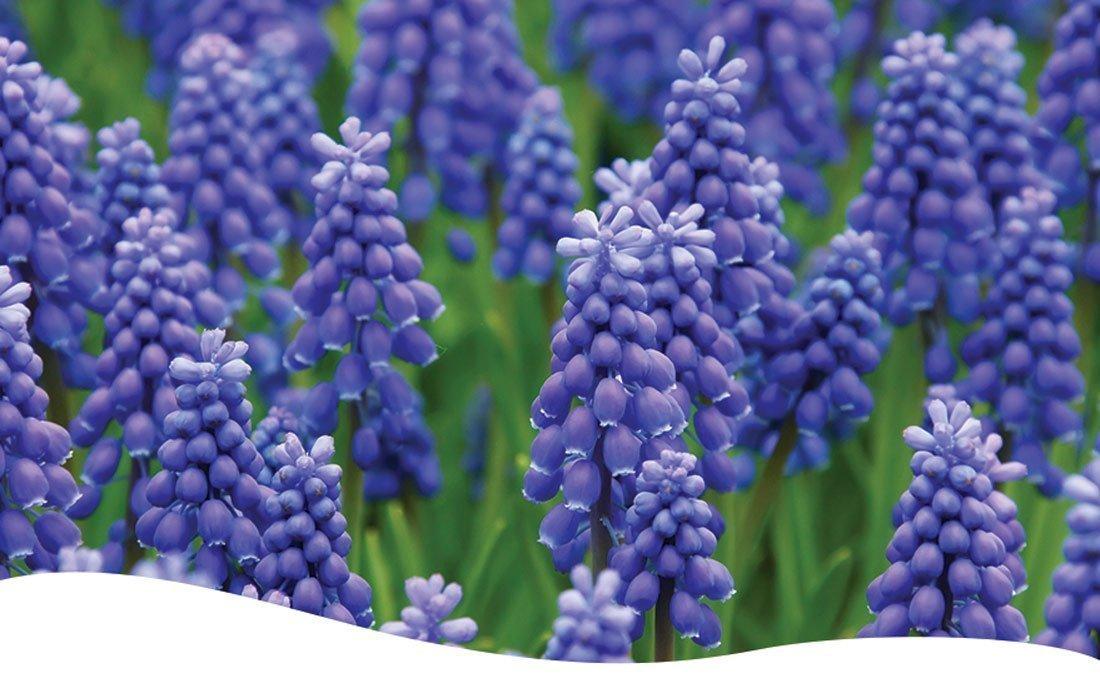 A bunch of purple Grape Hyacinths