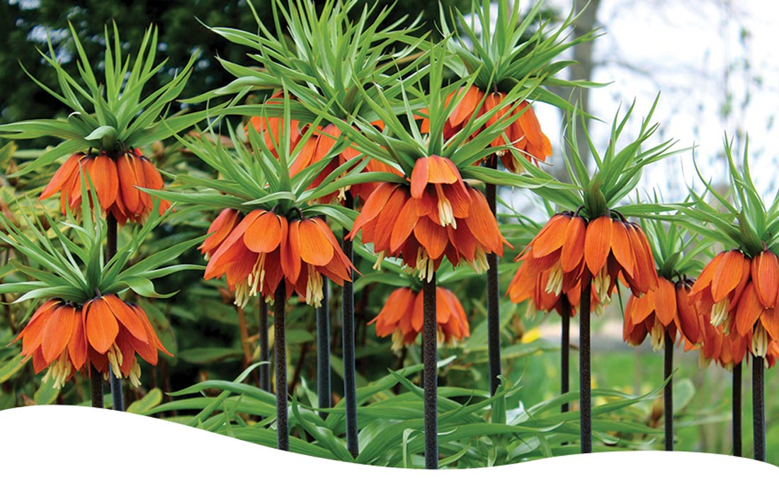 Bright orange crown imperial flowers
