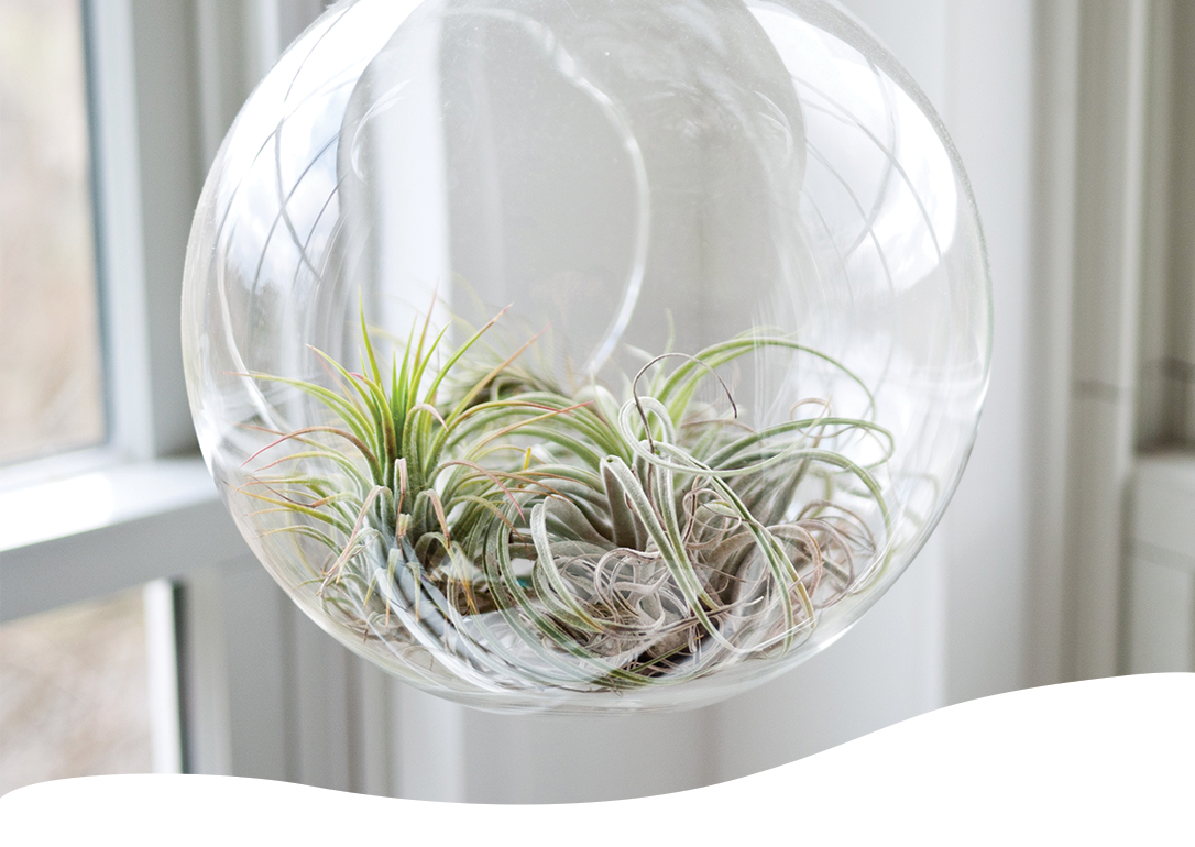 air plants hanging in glass bowl