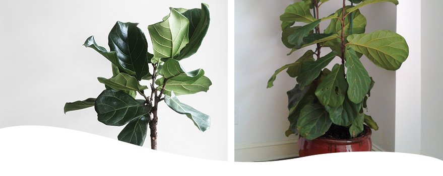 fiddle-leaf figs placed indoors