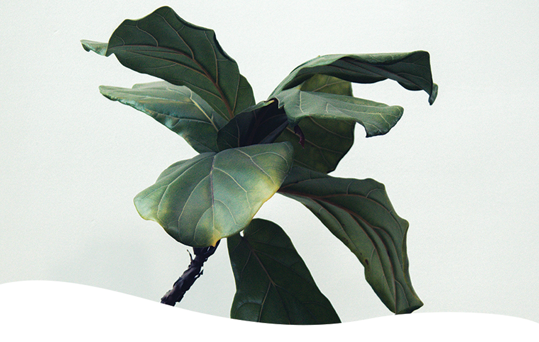 fiddle-leaf fig plant