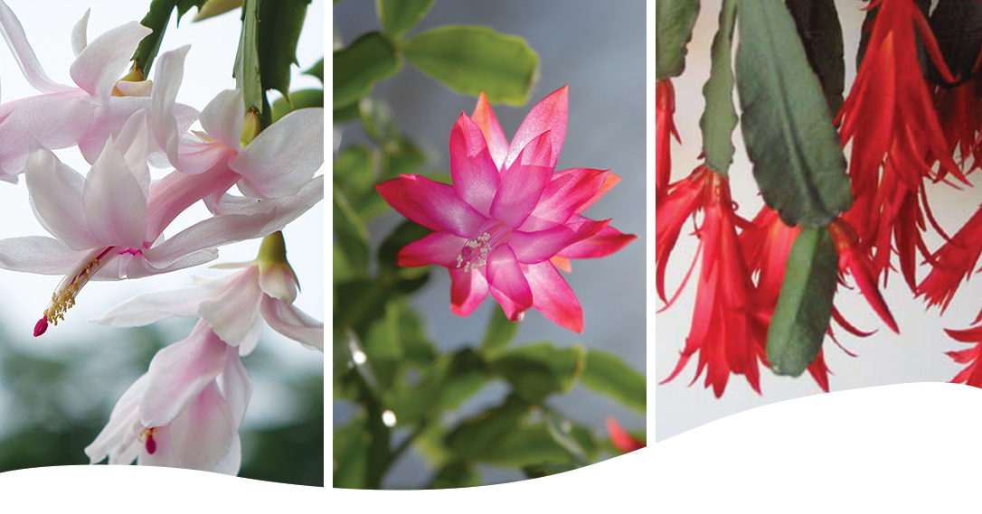 Thanksgiving Christmas Easter Cactus