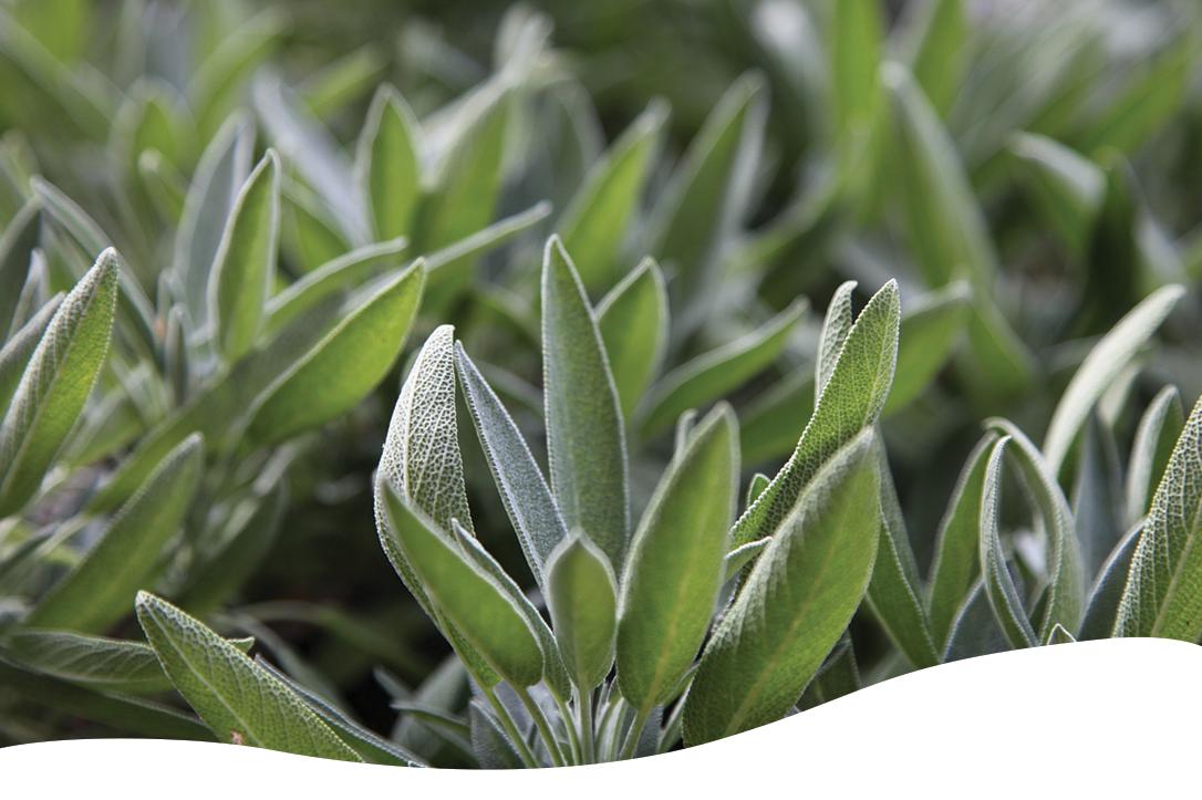 sage is a mediterranean herb