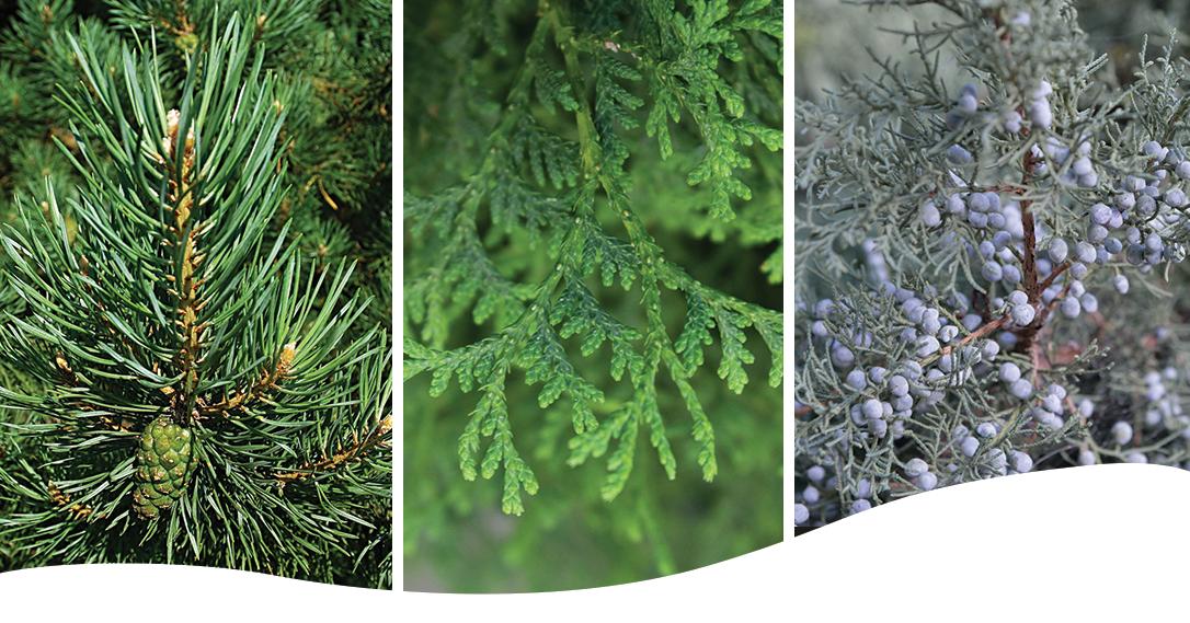 spruce cedar trees
