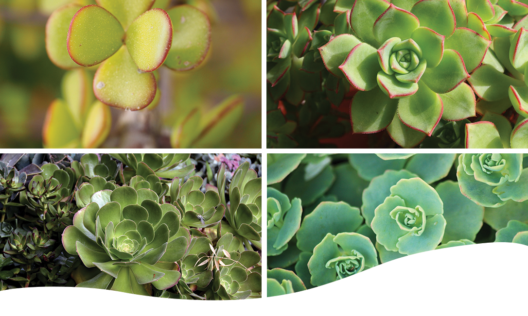 Decorate your wreath with succulents such as Aeonium, Echeveria, Kalanchoe, Sedum, or Jade plants