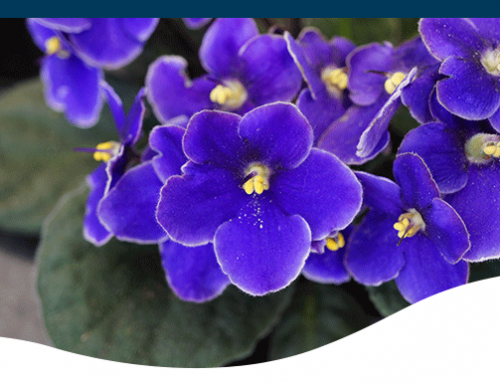 Growing Amazing African Violets