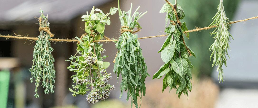 fiddle-leaf fig plant