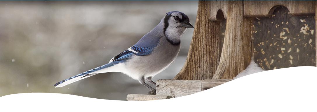 image of blue jay bird at bird feeder